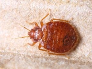 bed-bug-jackson-pest-service