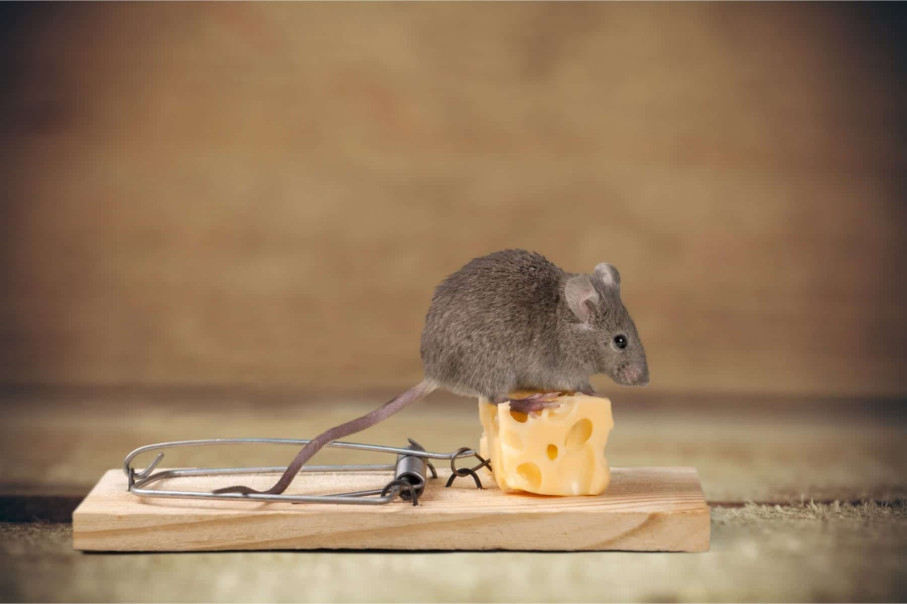 Mouse-Rodent-Jackson-Control
