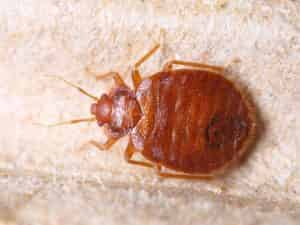 Bed-Bug-Jackson-MS-Ridgeland-Bed-Bug-Control