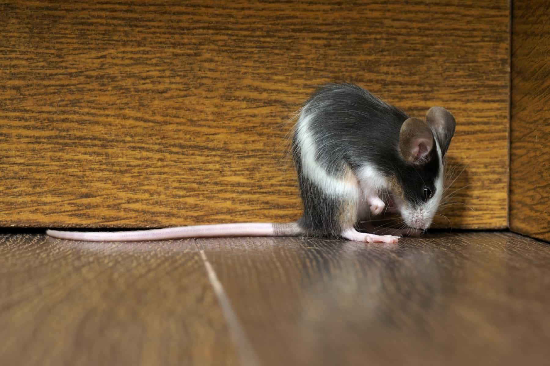 Gray fluffy white mouse sitting on the floor in the room. Pink legs, big ears and whiskers. A long tail. Funny animals
