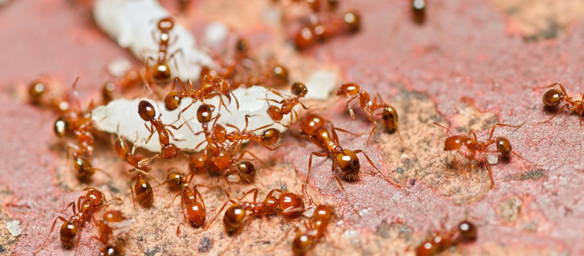 Fire-Ant-Control-Madison-Jackson-Fire-Ant