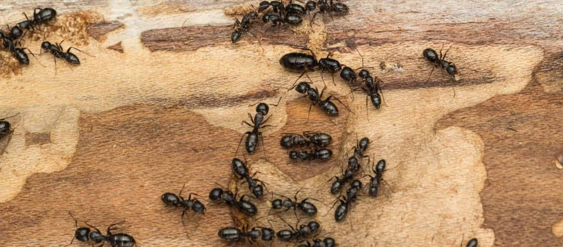 Colony disperses after bark has been removed exposing them. Likely carpenter ants Camponotus pennsylvanicus.