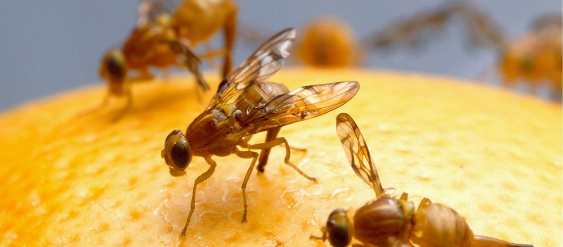 fruit fly or gnat
